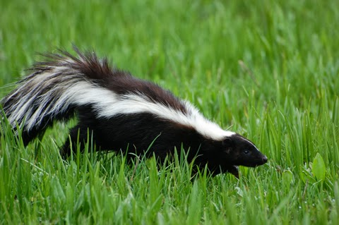 skunk-5B1-5D